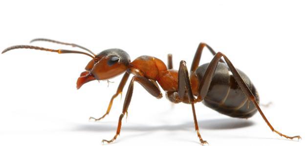 كيف أقضي على النمل نهائياً