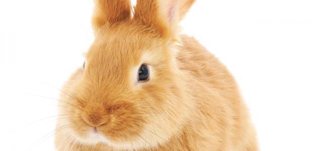 تربية الأرانب في المنزل