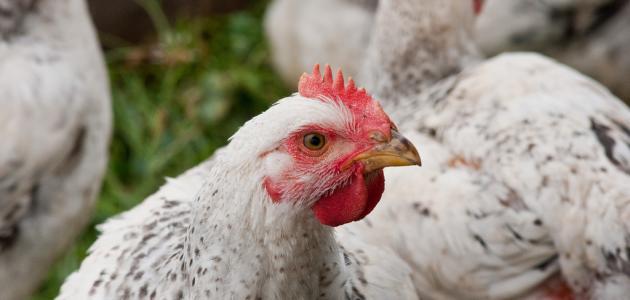 تربية دجاج اللحم