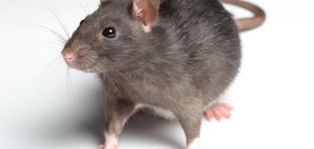 أين تعيش الفئران