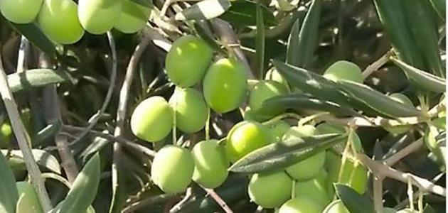 أين تزرع شجرة الزيتون