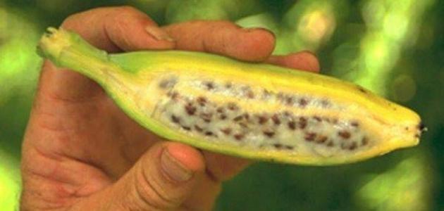 أين توجد بذور الموز