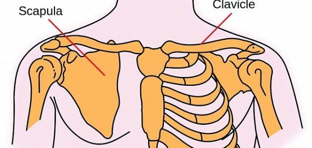 أين توجد عظمة القص في الجسم البشري