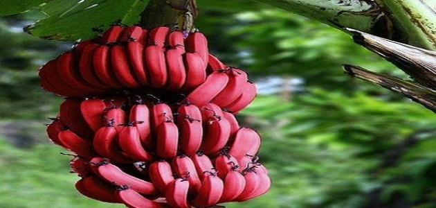 أين يزرع الموز الأحمر