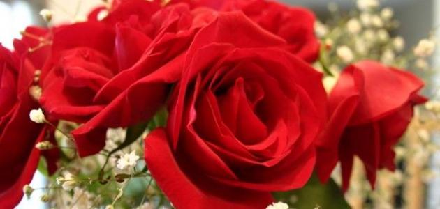 969ef1551 كلام جميل عن الورد الأحمر - موضوع