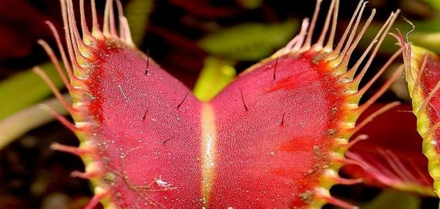 أين يوجد نبات التنين الأحمر