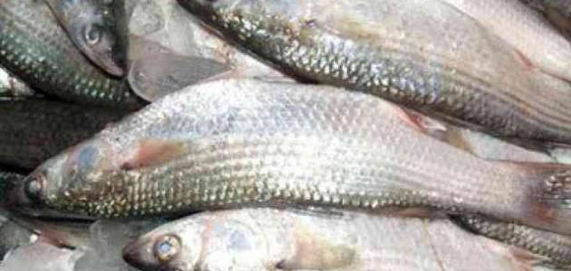 فوائد سمك البياض