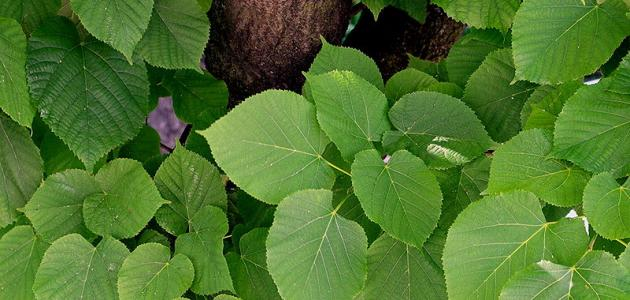 فوائد عشبة الزيزفون