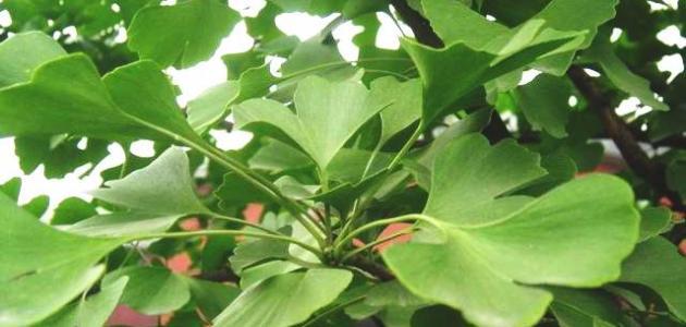 فوائد عشبة جنكو بيلوبا