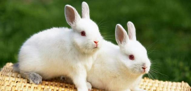 كيف أربي أرانب