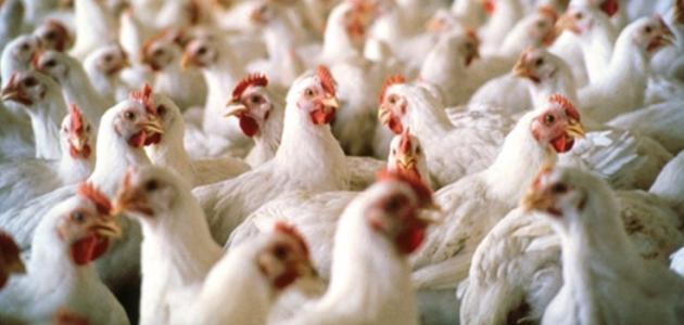 كيف أربي دجاج
