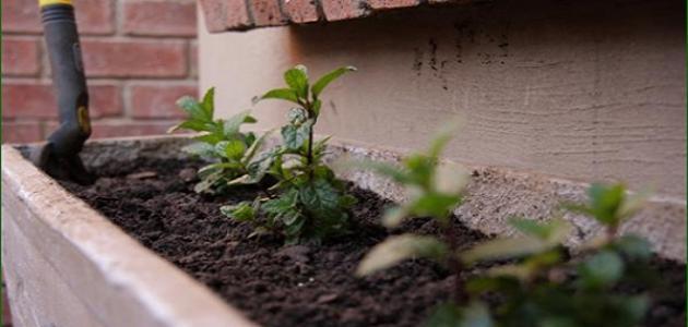 كيف أزرع النعناع في المنزل
