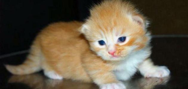 كيف أربي قط صغير