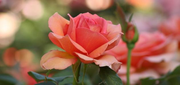 كيف أزرع الورد الجوري