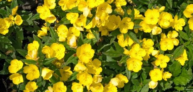 فوائد عشبة زهرة الربيع