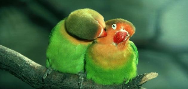 كيف أجعل طيور الحب تتزاوج
