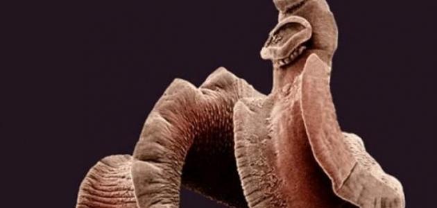 أين تعيش الديدان الطفيلية الشريطية