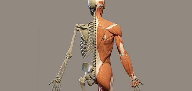 تشريح جسم الانسان حقيقي
