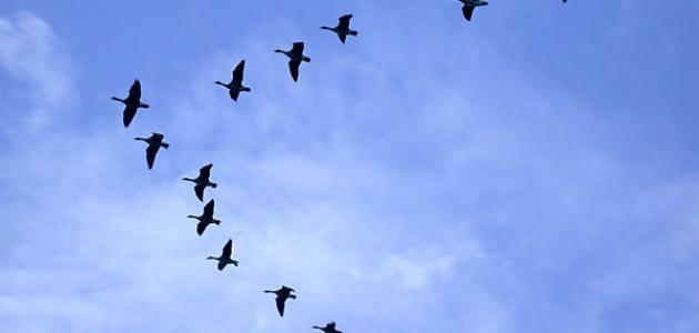 أين تهاجر الطيور