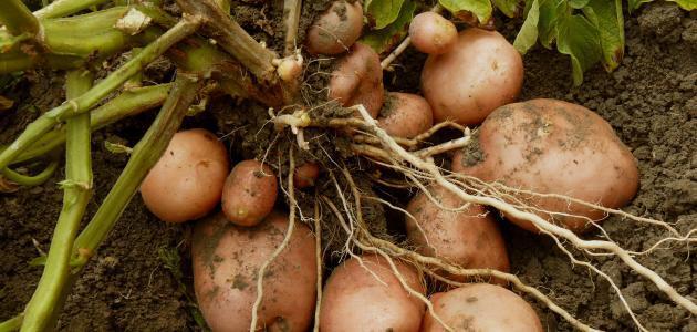 كم مدة زراعة البطاطس