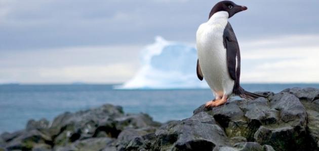 أين يقع عش البطريق