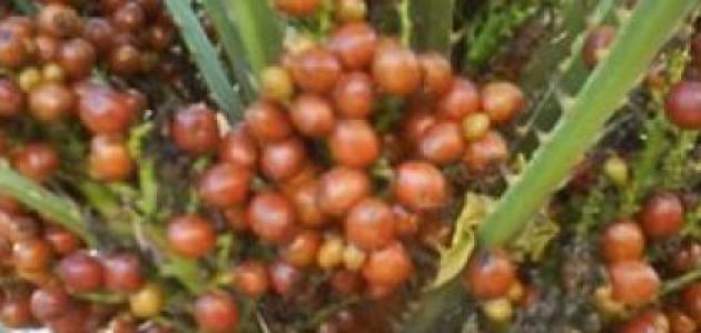 فوائد عشبة الدوم