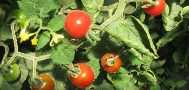 كيف يتم زراعة الطماطم