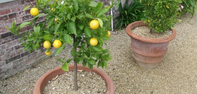 كيف يزرع الليمون في المنزل