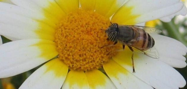كيف تمتص النحلة الرحيق