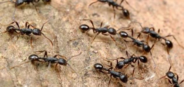 كيفية طرد النمل من البيت