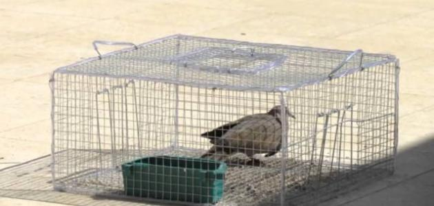 طريقة صنع فخ لصيد أنواع من الطيور