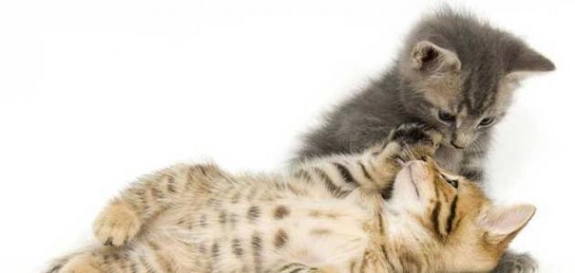 كيف أطعم القطط الصغيرة