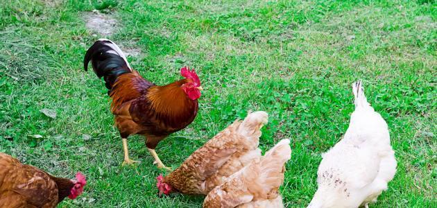 كيف أربي دجاج في المنزل