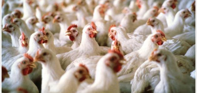 كيف تتم تربية الدجاج