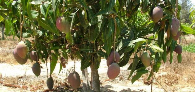 كيف أزرع شجرة المانجو
