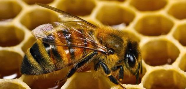 كيف أربي النحل