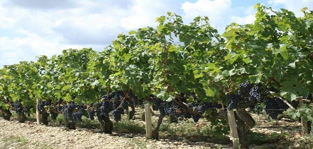 طريقة حماية شجرة العنب من الأمراض
