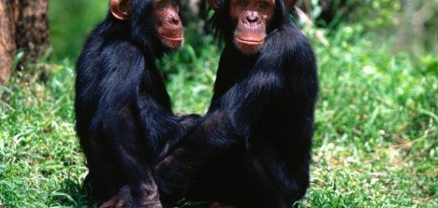 أنواع القرود
