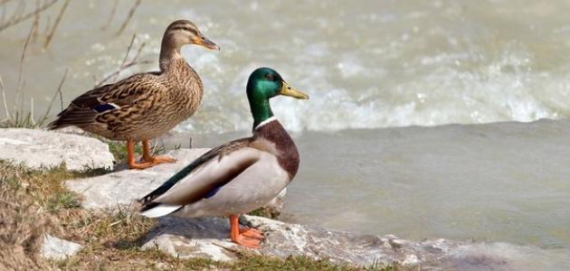 كيف تؤثر البيئة في دورة حياة الطائر