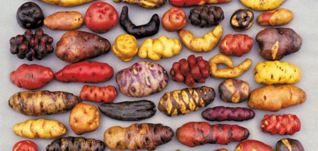 أنواع البطاطس