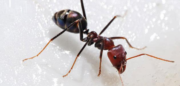 أنواع النمل