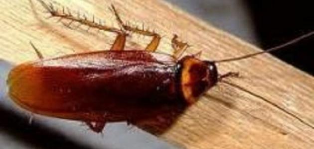 أنواع الصراصير