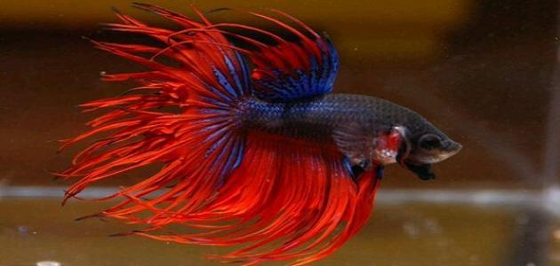 أنواع أسماك الزينة