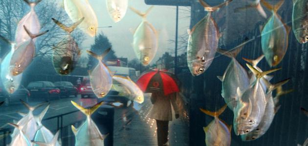 السماء تمطر سمكا