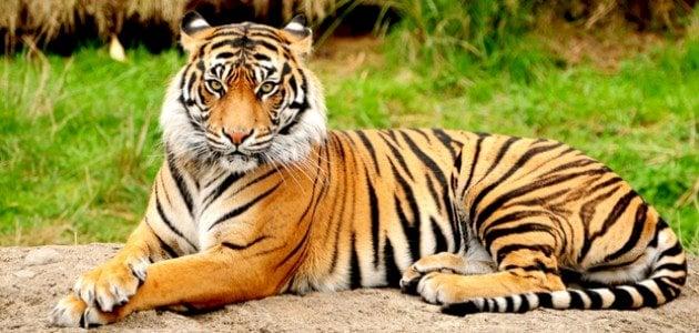 أنواع النمور