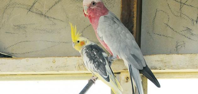 معلومات عن طائر الكوكتيل