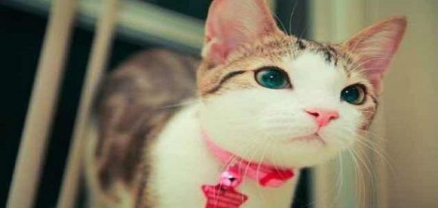 أجمل أنواع القطط