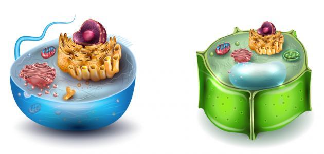 الفرق بين الخلية الحيوانية والنباتية