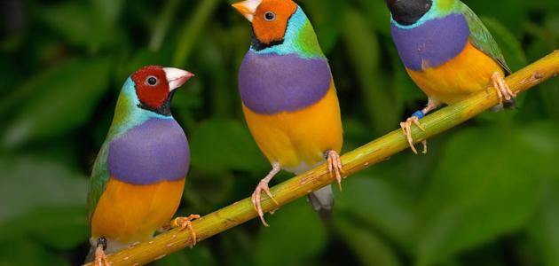 أنواع عصافير الزينة