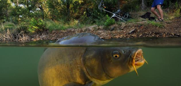 سمكة الشبوط